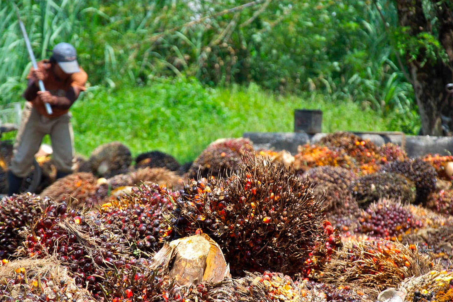 A harvest of palm oil fruit