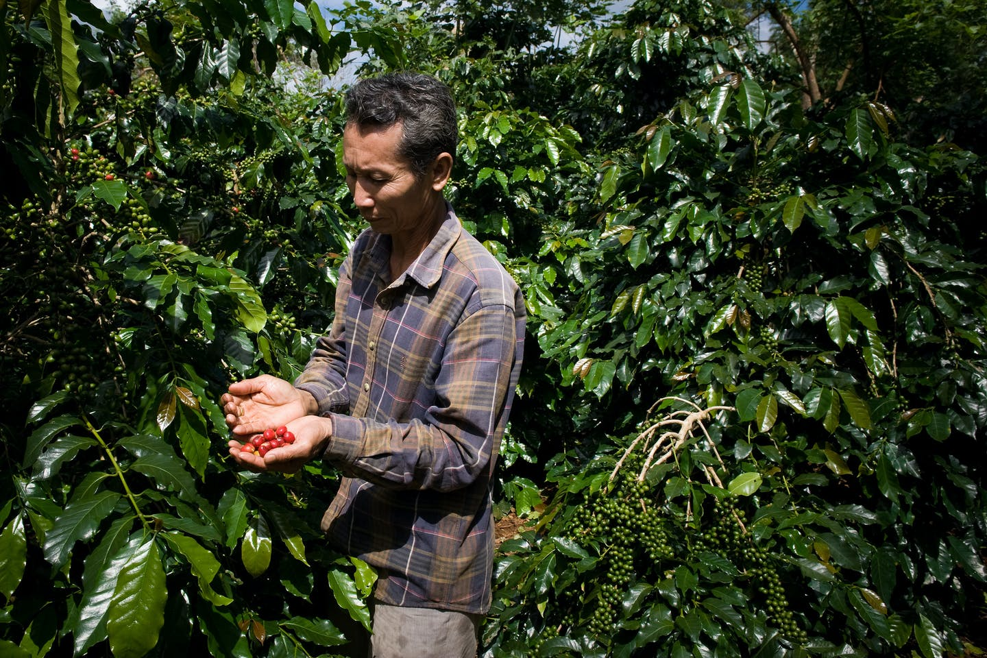A Lao farmer looking at his coffee crop