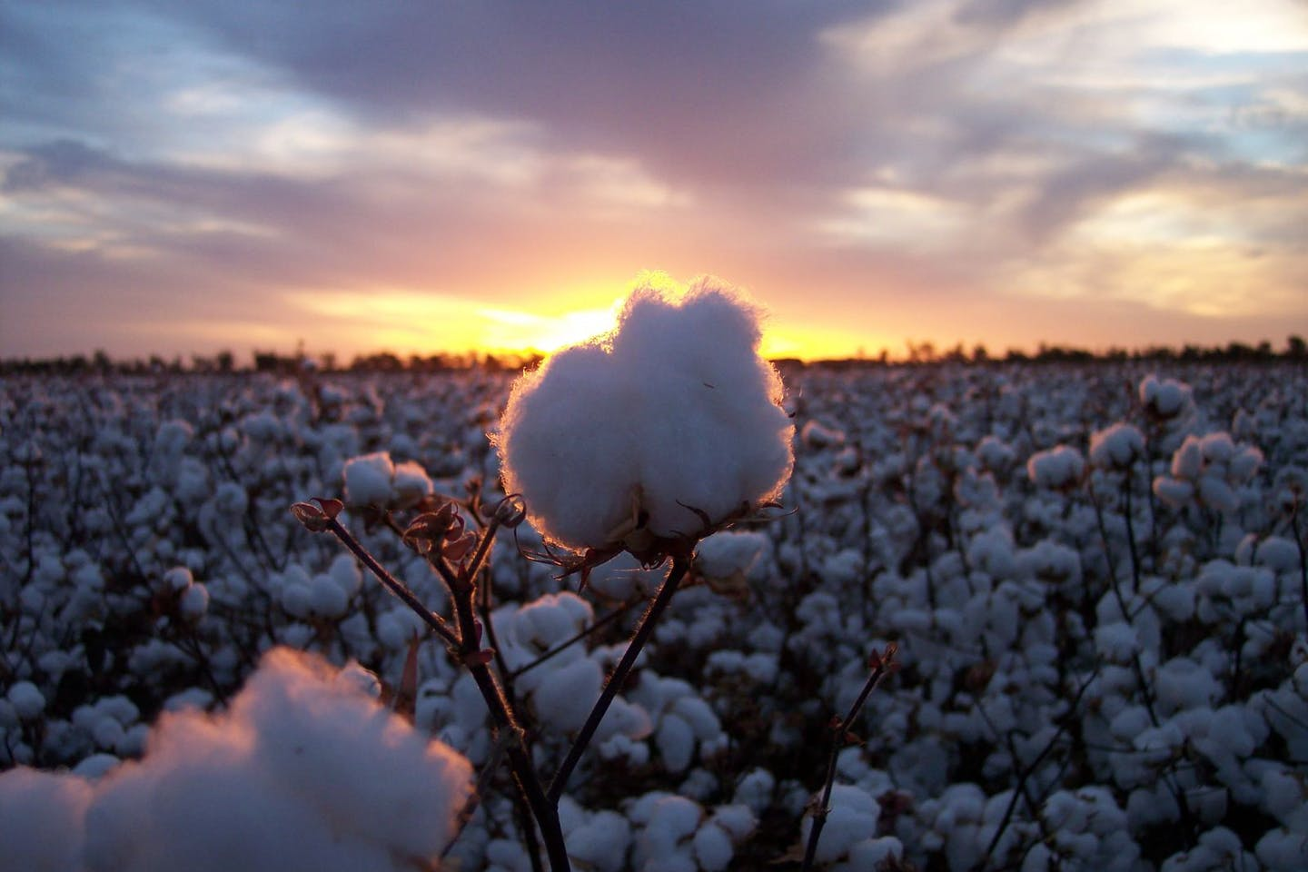 Cotton boll in sunset field