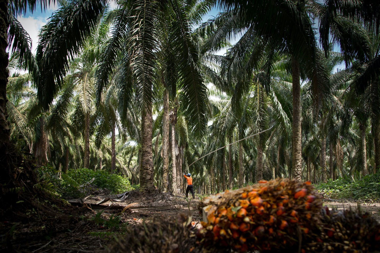 Brazil oil palm plantation