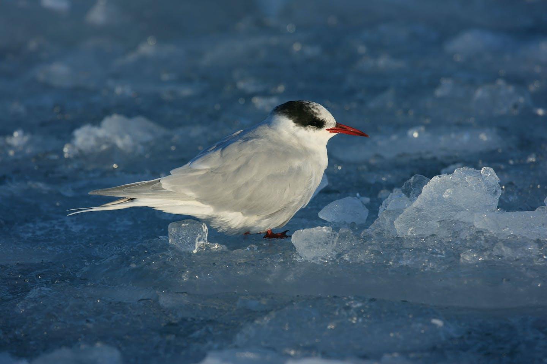 Antarctic tern on an ice floe