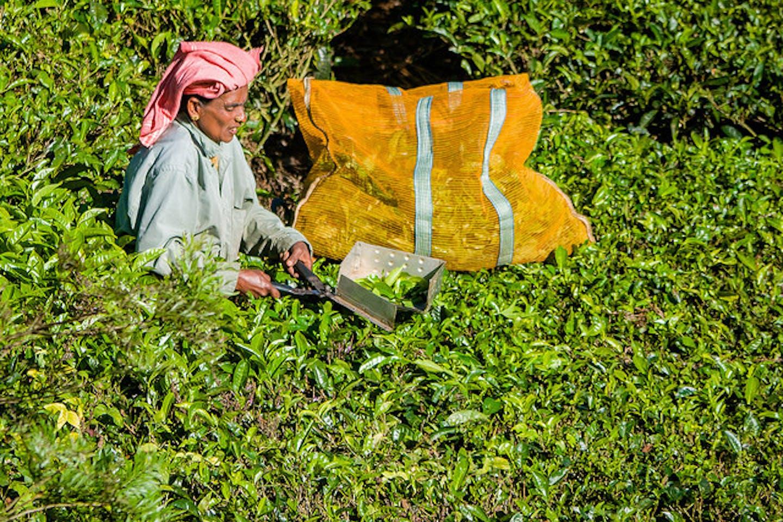 tea harvest in India