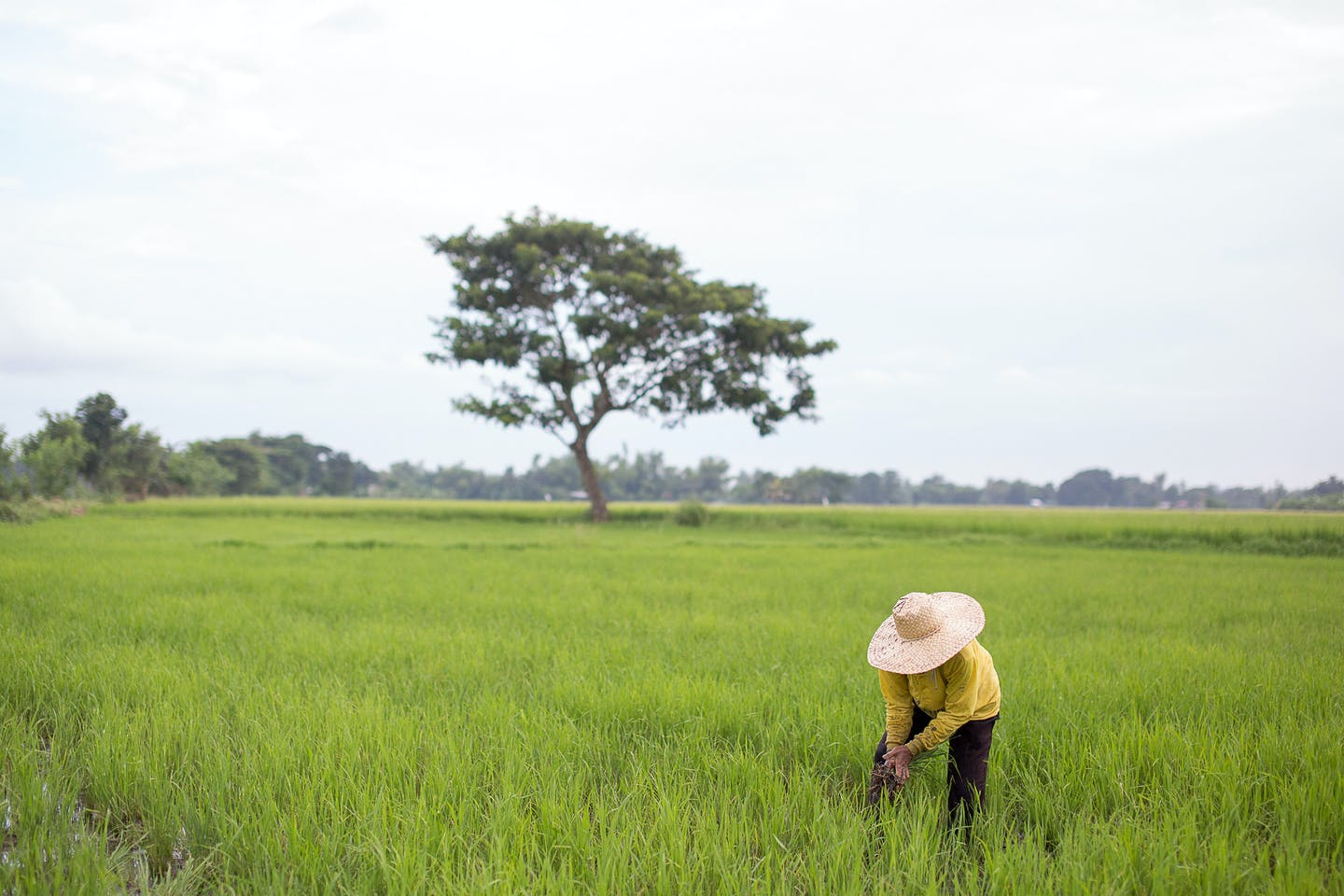 Farmer in the Philippines planting rice