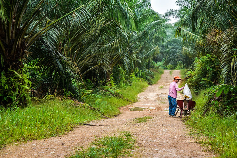 palm oil worker harvests ffb