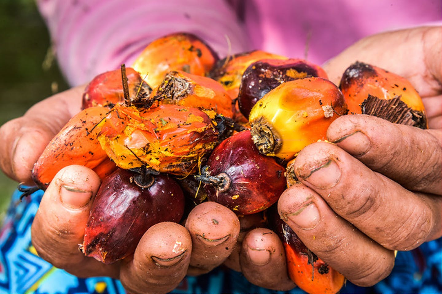palm fruits cupped in hand