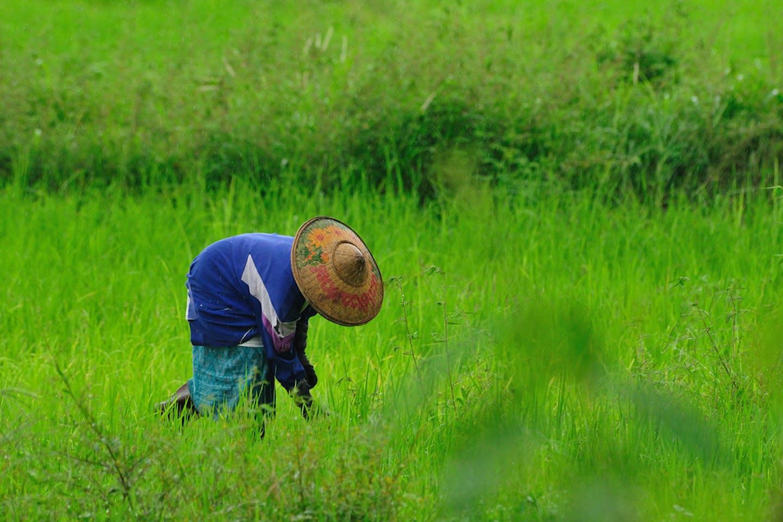 ricefield thailand