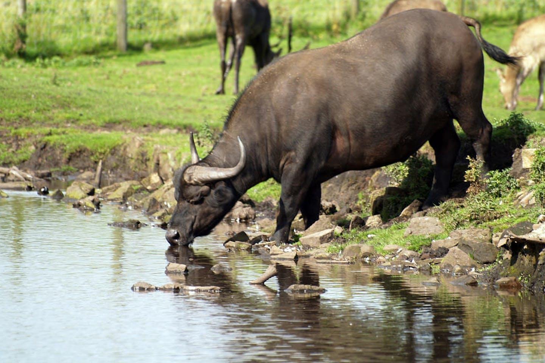buffalo australia
