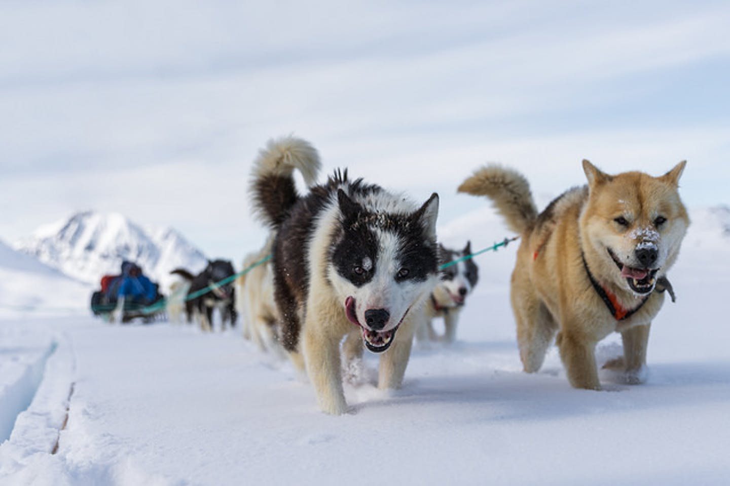 Arctic sled dogs