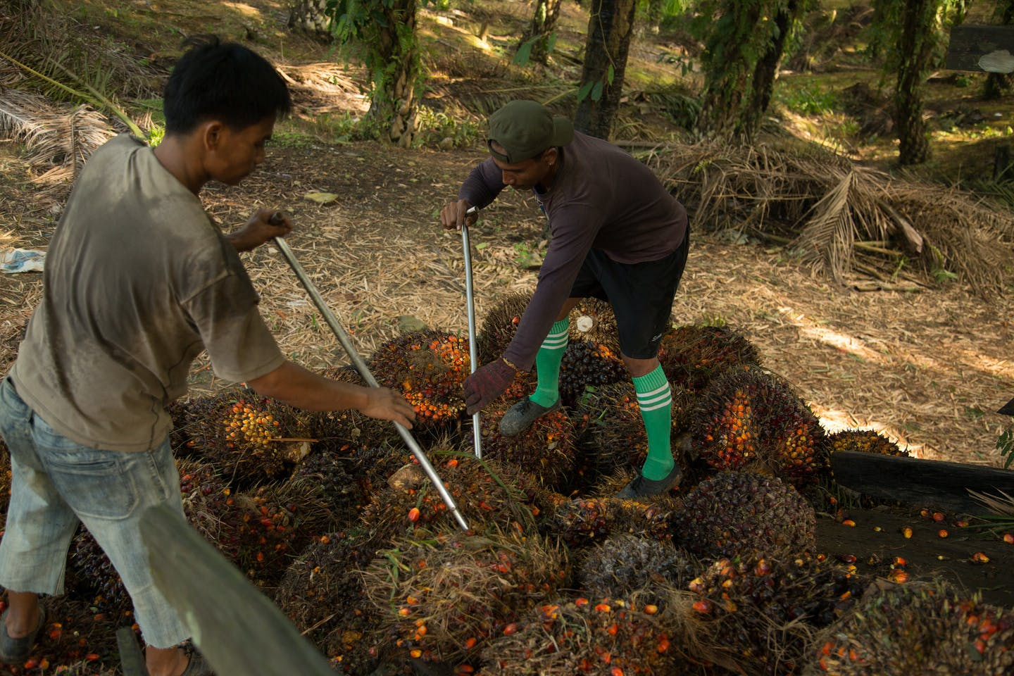 workers in oil palm plantation in Malaysia