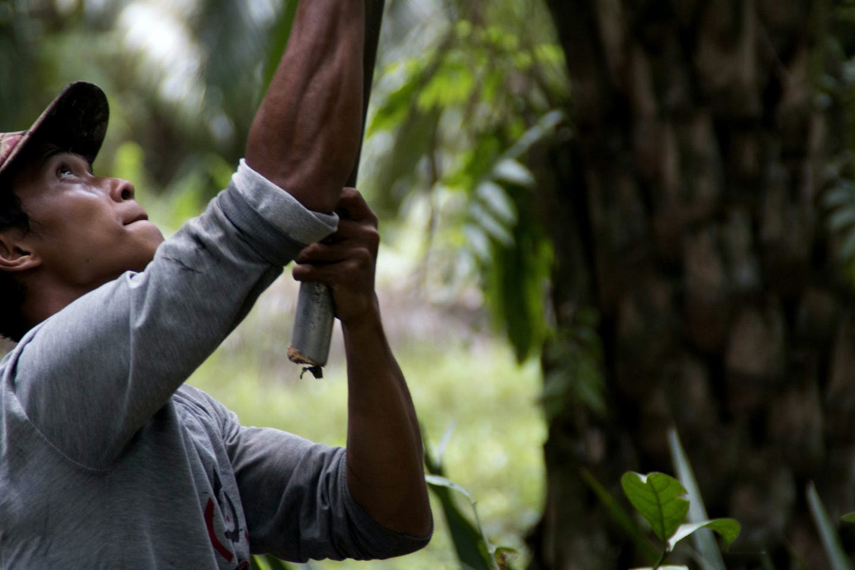 worker harvests oil palm fruit