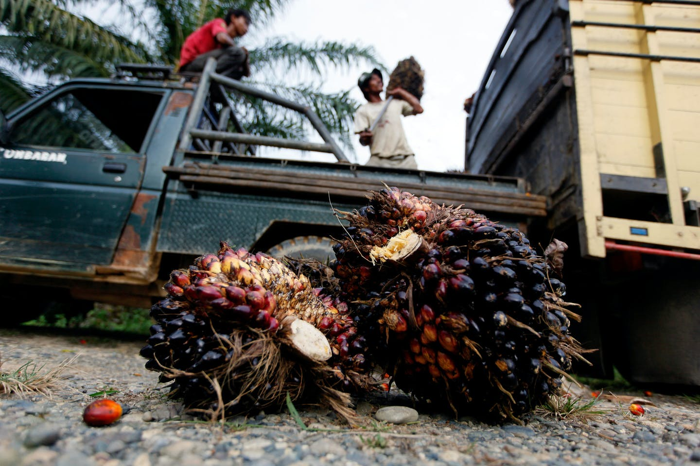 Workers load a truck with palm fruit at a palm oil plantaion in Nagan raya, Aceh province, Indonesia