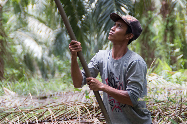 palm oil farmer indonesia