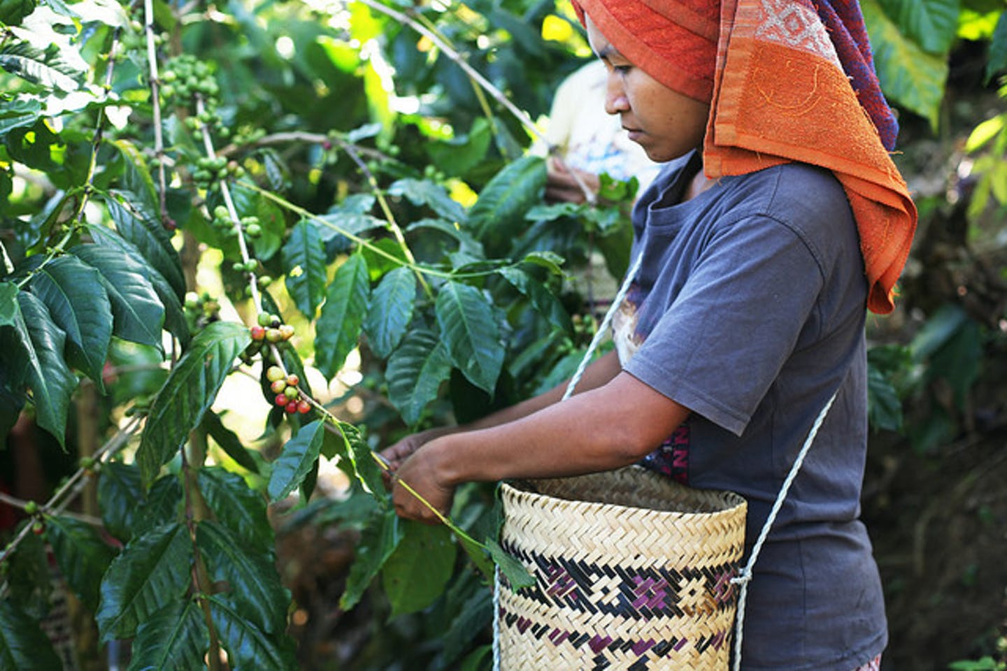 woman picks coffee beans in Indonesia