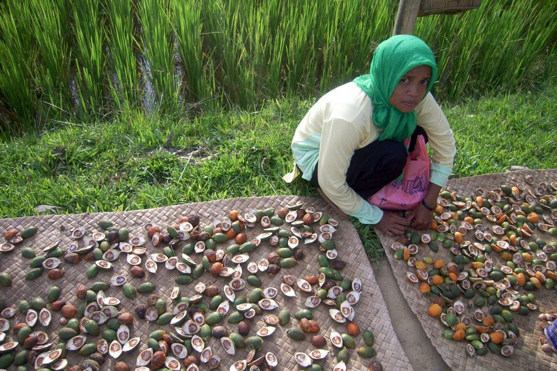 woman sorts palm fruits