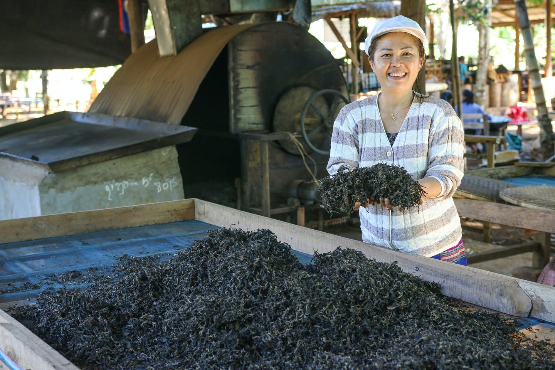green tea smallholder development in Lao PDR
