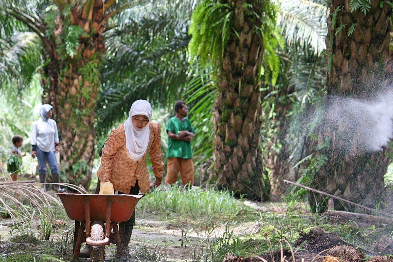 palm oil papua indonesia