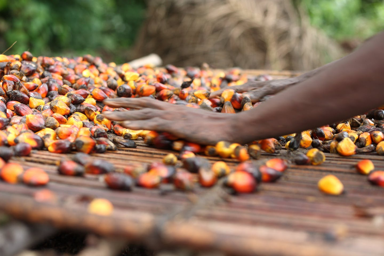 A farmer sorts his palm oil fruit