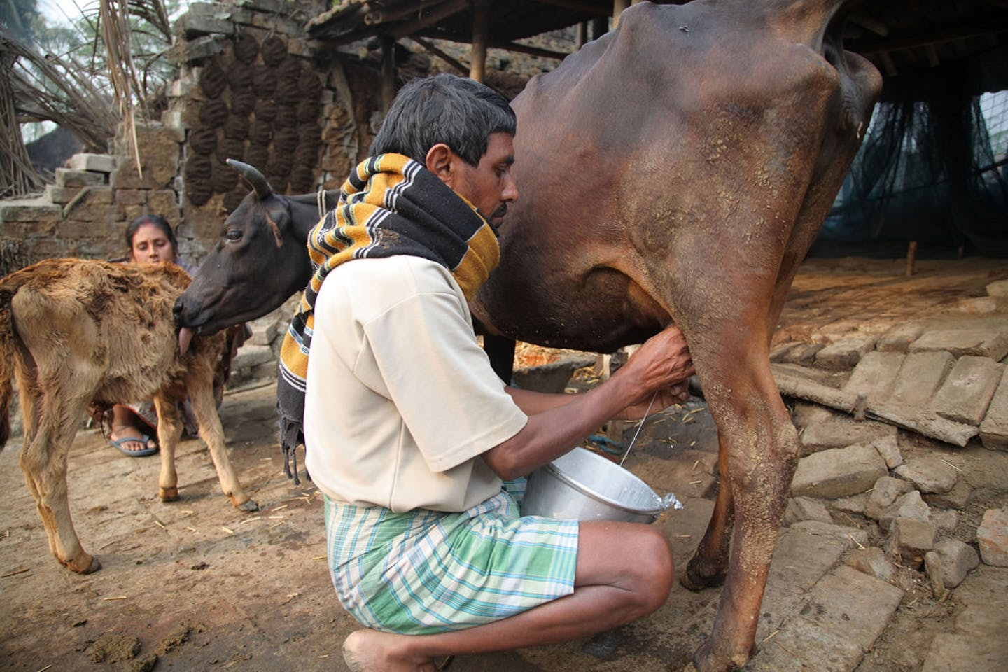 A farmer milks his cow