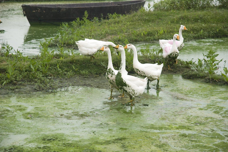 geese algea