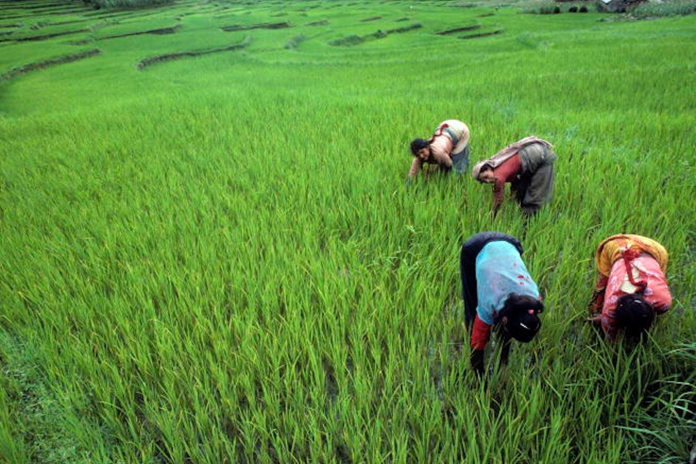 rice farmers in nepal