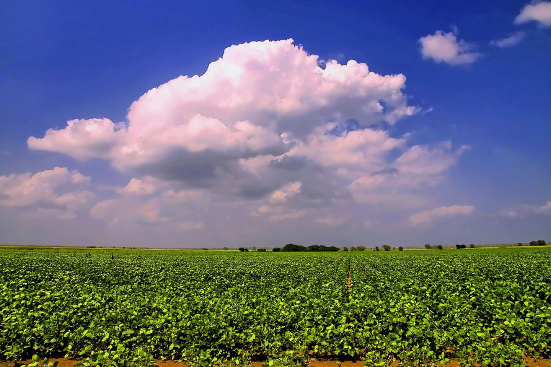soy bean farm