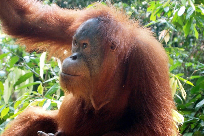 tapanuli orangutan3