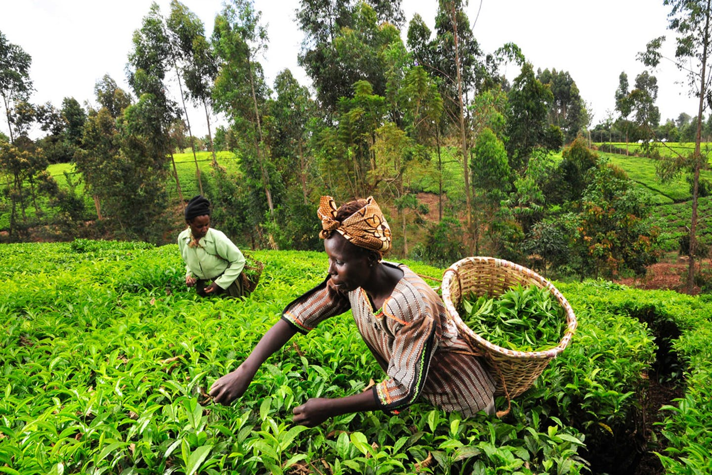 Tea pickers in Kenya's Mount Kenya region.