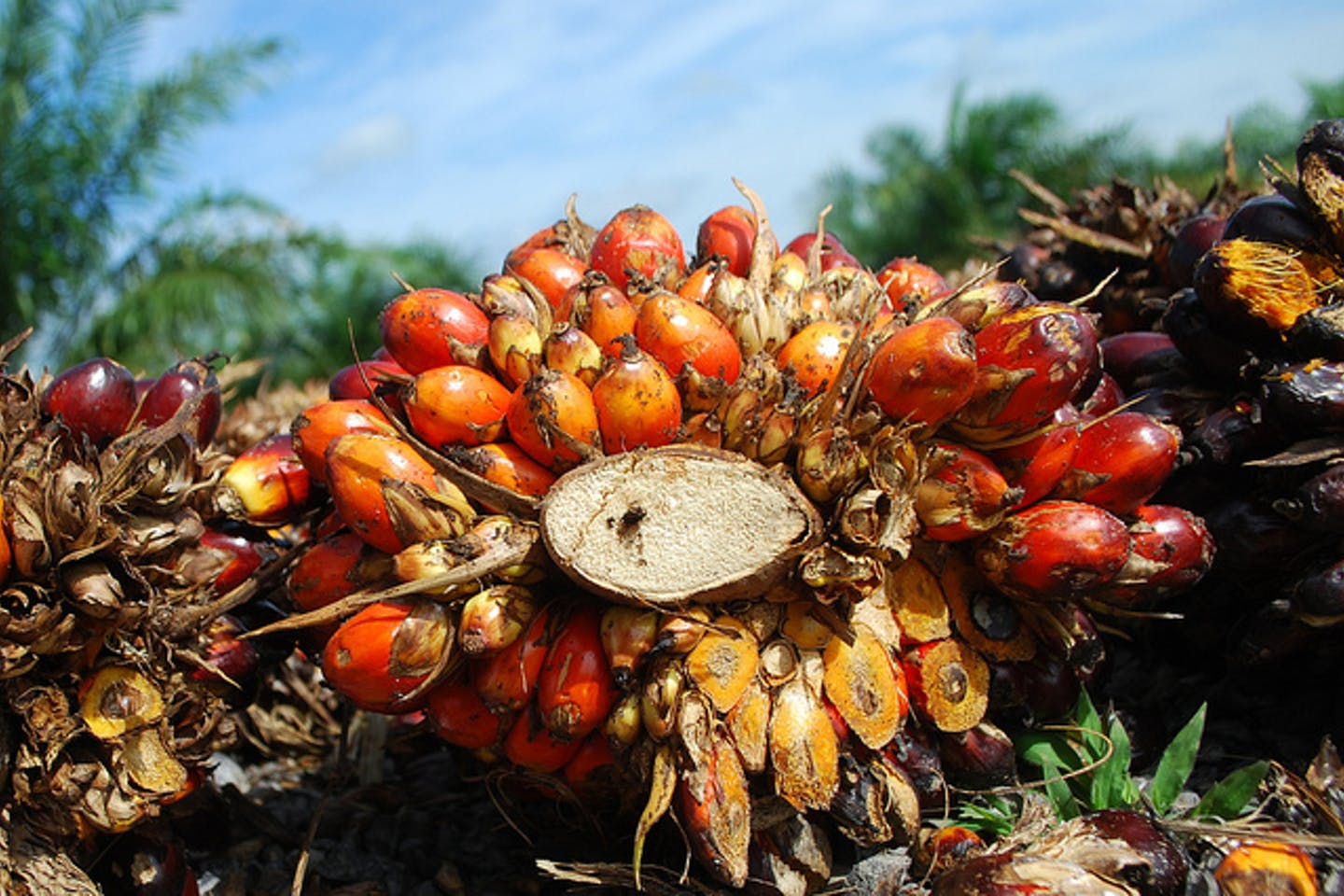 oil palm fruits from jambi indonesia