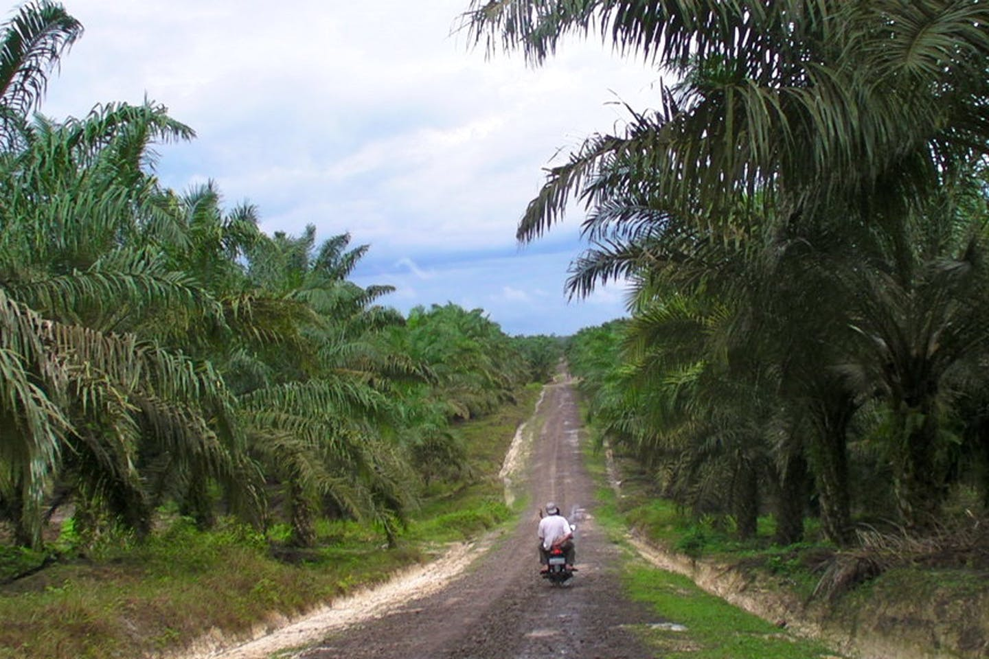 A palm oil plantation in Borneo with a road down the middle and people travelling