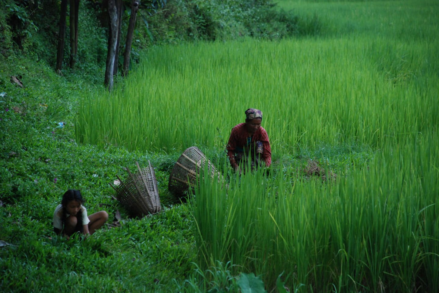 Nepalese farmers of Rupa Lake Cooperative gathering fodder grass.