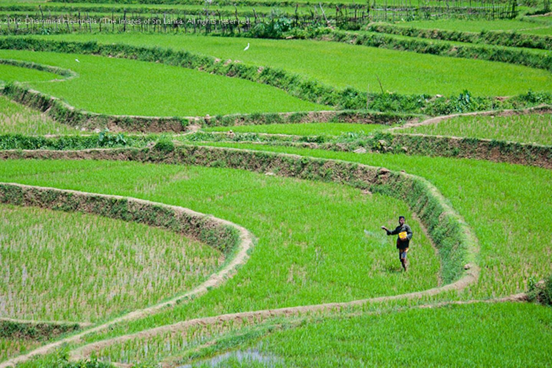 Rice paddy farmer in Sri Lanka
