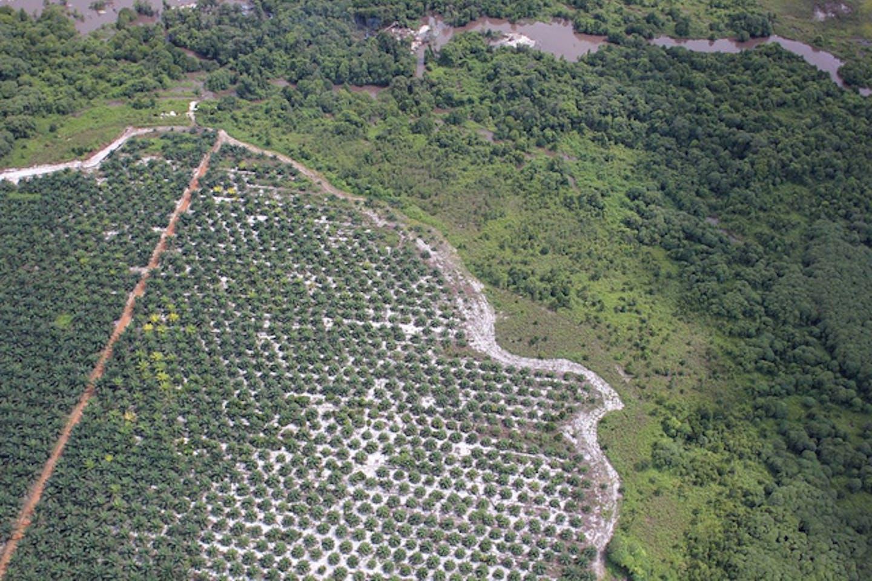 palm oil plantation in Borneo