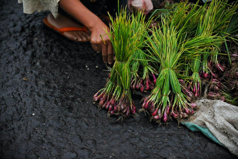 spring onion harvest