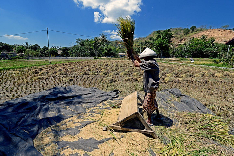 Lombok farmer