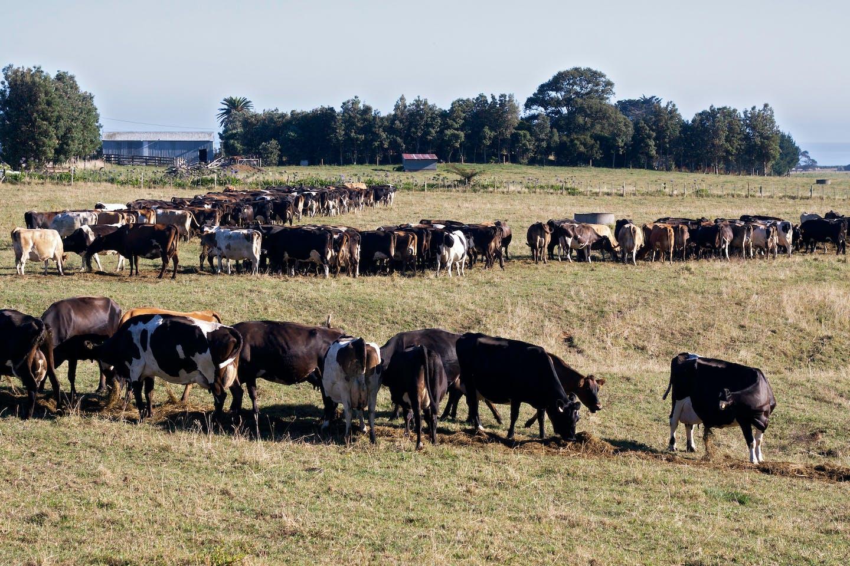 Cows grazing in a field in New Zealand