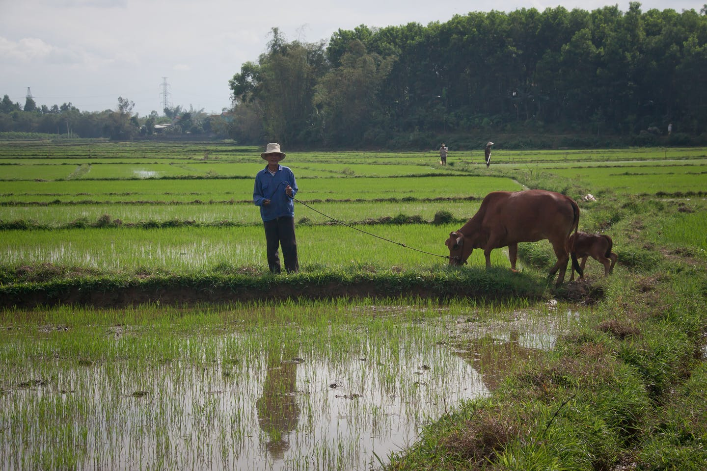 A farmer and his cows in the field in Vietnam.
