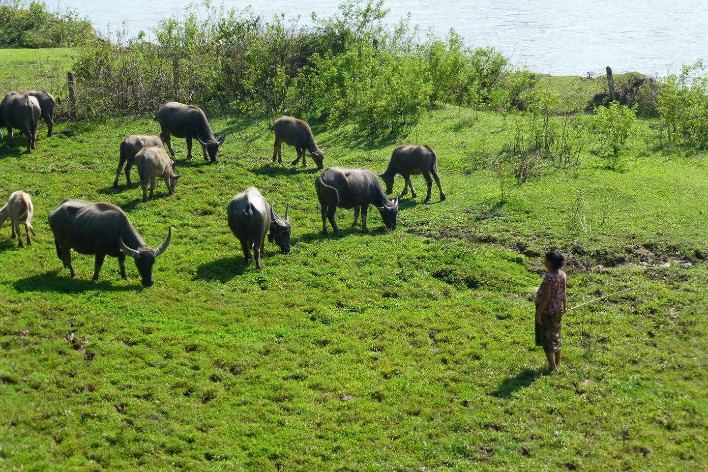 A woman in Southern Laos tends to her water buffaloes