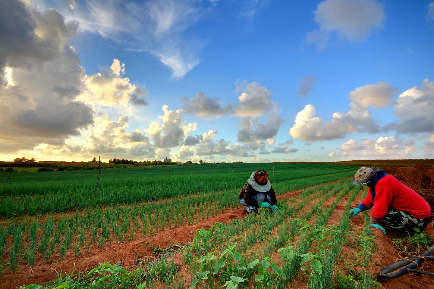 Thai workers weeding a field of chives.