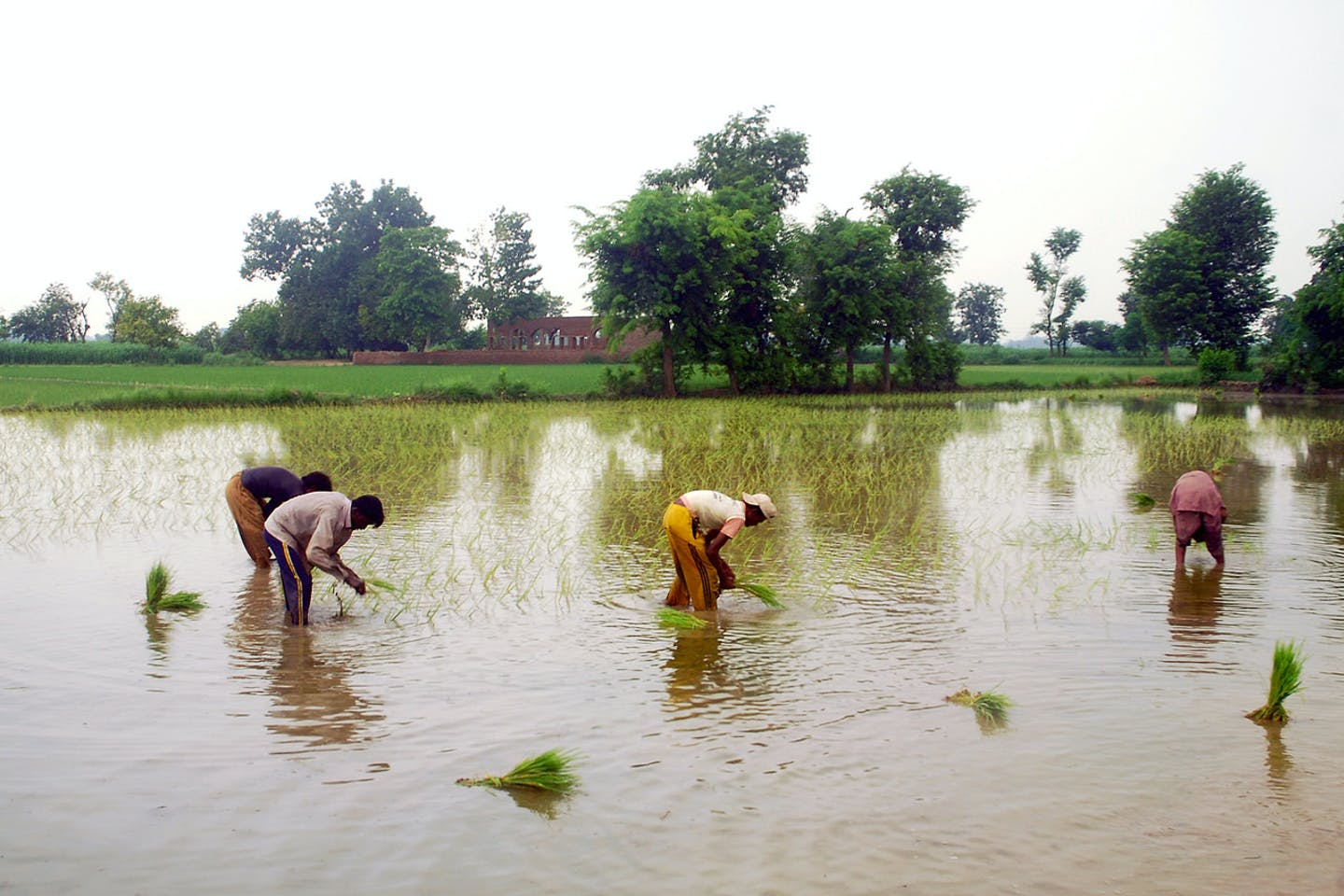 Farmers in Pakistan working in the rice fields
