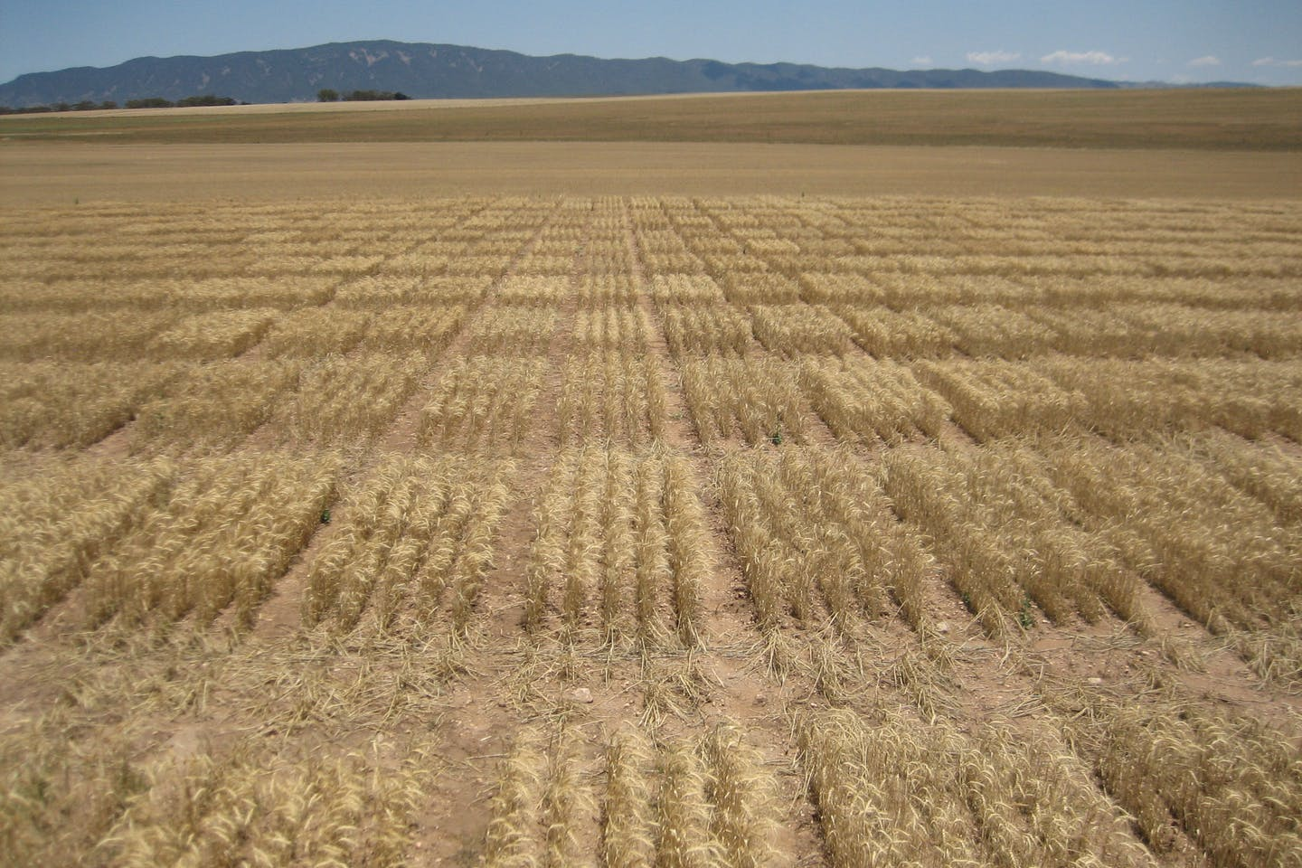 An Australian wheat field, by James Edwards/Wheat Initiative, CC BY-SA 2.0