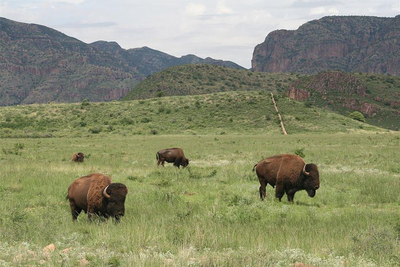 buffalo in chihuahua