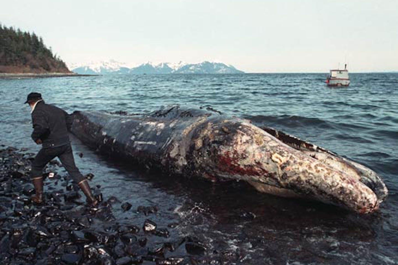 Dead whale after Exxon Valdez