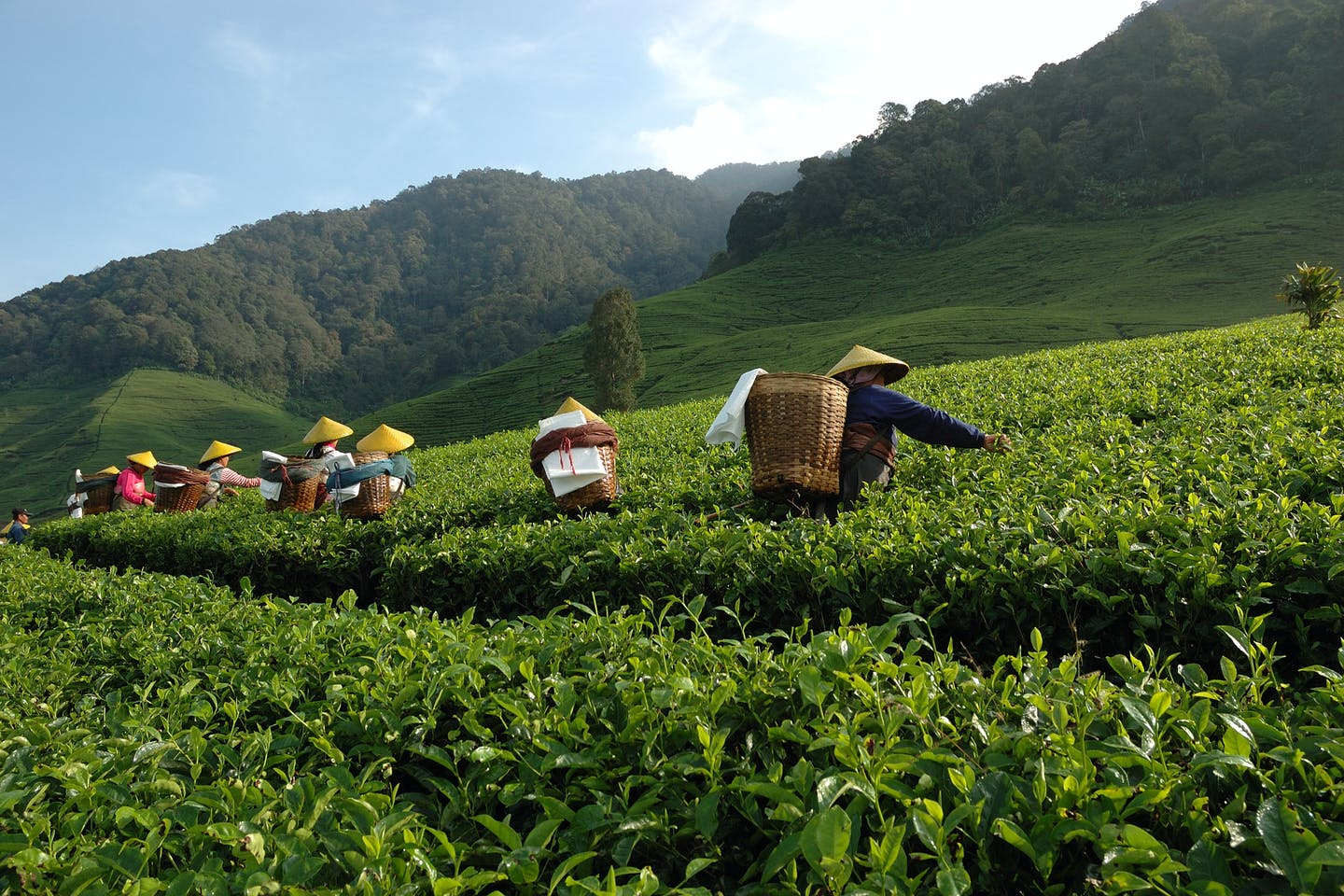 tea harvesting indonesia