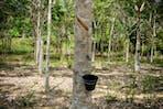 rubber plantation bintan