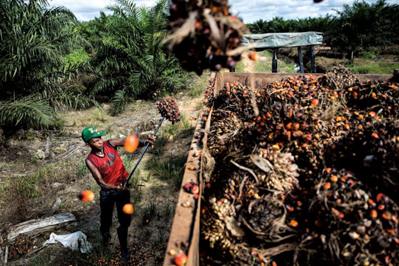 Future of palm oil