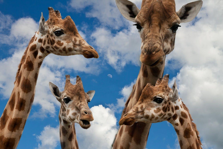 Giraffes endangered1