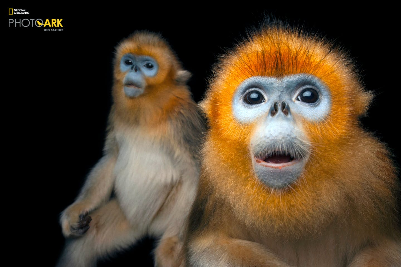golden monkey photo ark