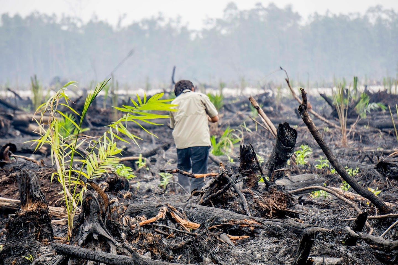 palm oil saplings kalimantan