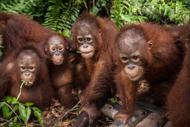 orangutans nyaru menteng