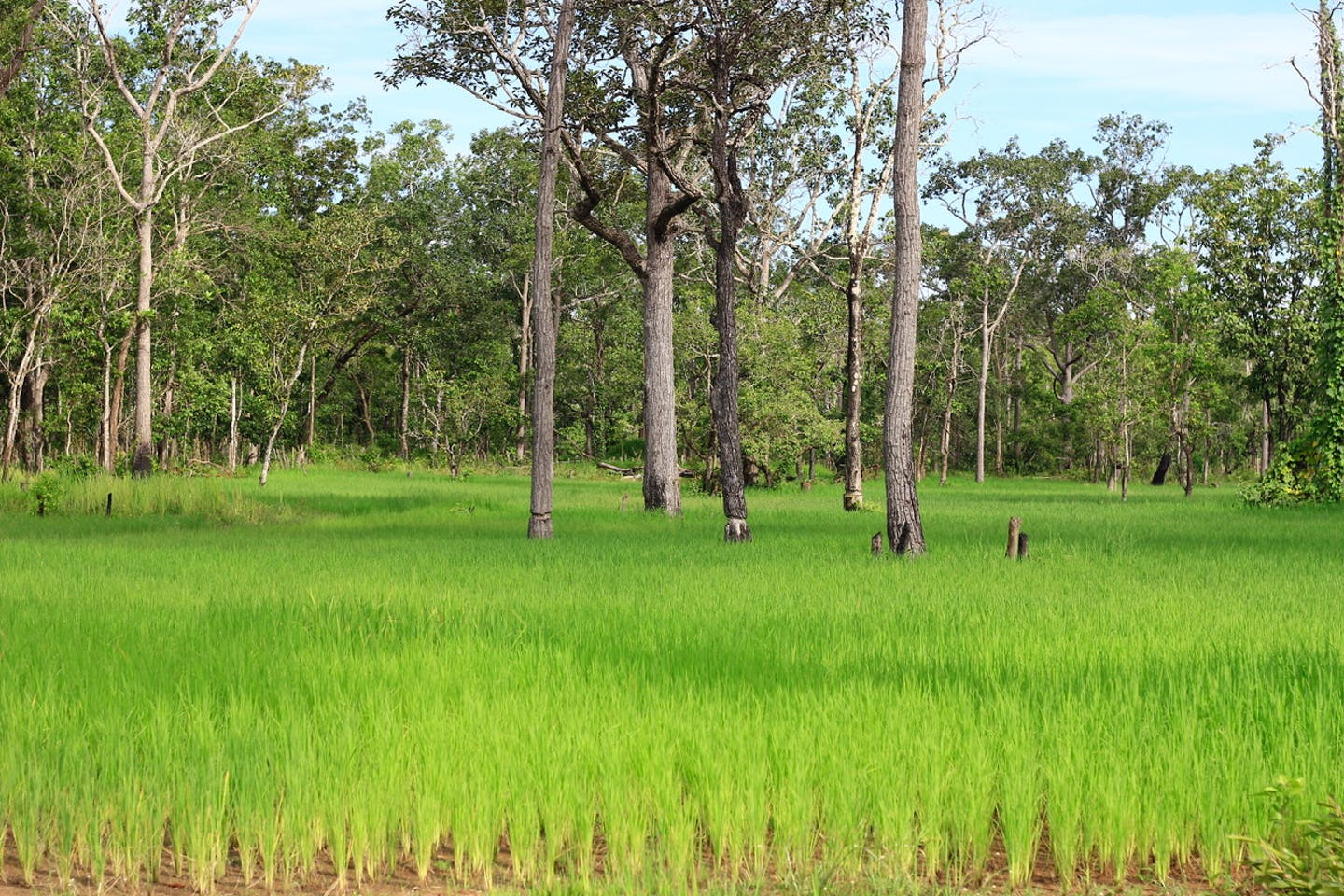 Rice farming is critical to Cambodia's economy and food security, but the crop contributes to loss of natural habitat in the Southeast Asian country. Image: